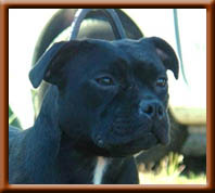 Staffordshire Bull Terrier - Esprit criminel d'ultime passion