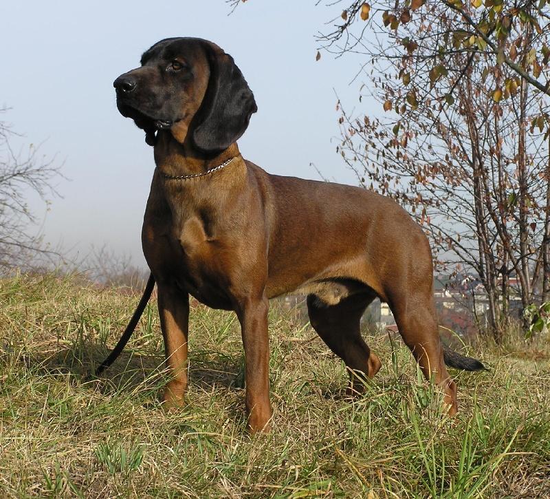 Le Standard de la race chien de Rouge de Baviere sur Atara.com
