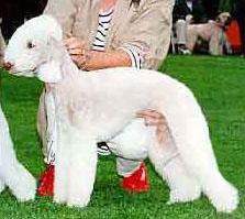Le Standard de la race Bedlington Terrier sur Atara.com