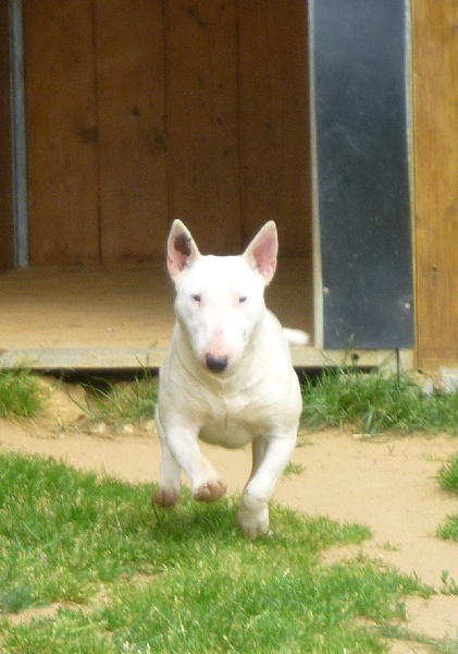Les Bull Terrier Miniature de l'affixe Of Honey's Bulls
