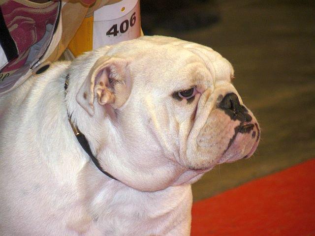 Les Bulldog Anglais de l'affixe Opalys Bulls