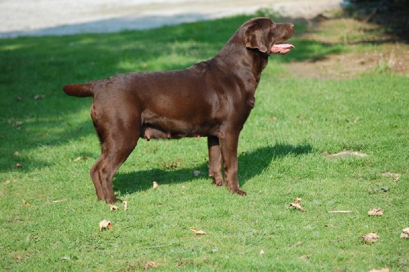 Labrador Retriever - Dancy du taillis madame