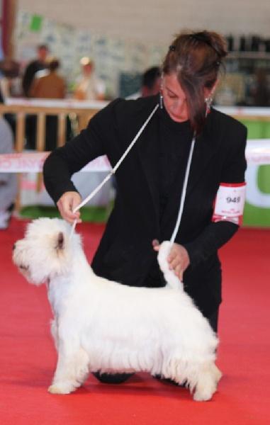 Les West Highland White Terrier de l'affixe des vallées de la Rocha