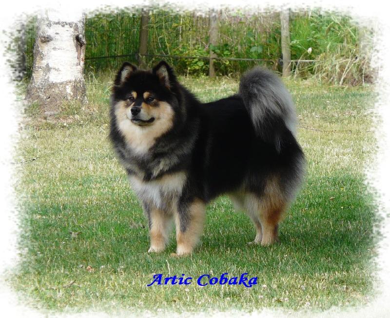 accueil elevage of artic cobaka eleveur de chiens chien finnois de laponie lapinko ra. Black Bedroom Furniture Sets. Home Design Ideas