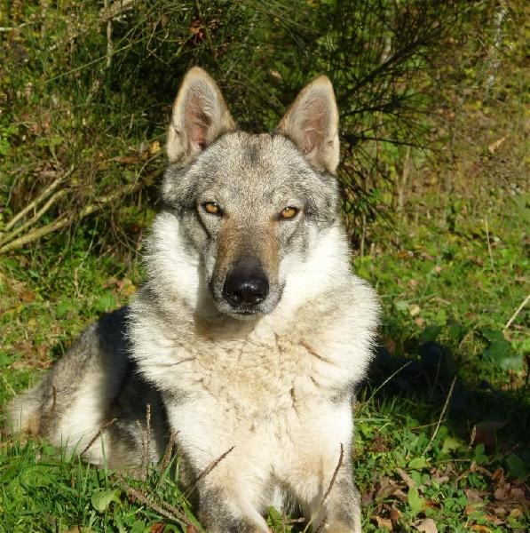 Les Chien-loup tchecoslovaque de l'affixe de la légende du loup noir