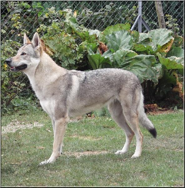 Les Chien-loup tchecoslovaque de l'affixe Blue Mystic Wolf