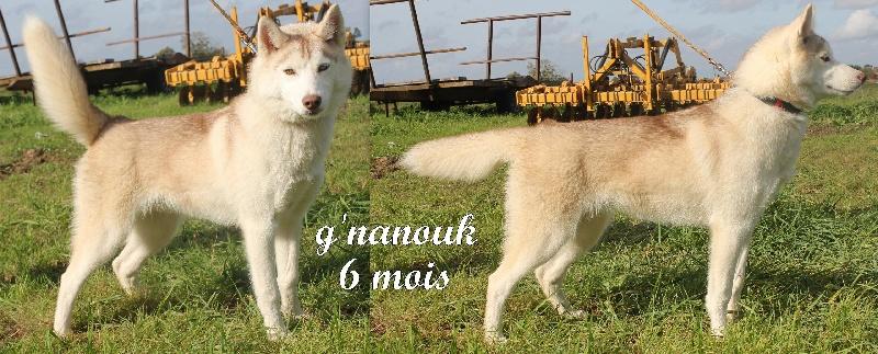 Le Standard de la race Siberian Husky sur Atara.com