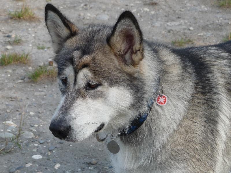 Les Alaskan Malamute de l'affixe De Prana Des Loups