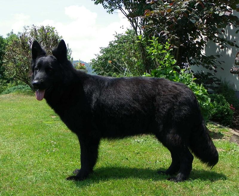 Les Berger Allemand Poil Long de l'affixe de la légende du loup noir
