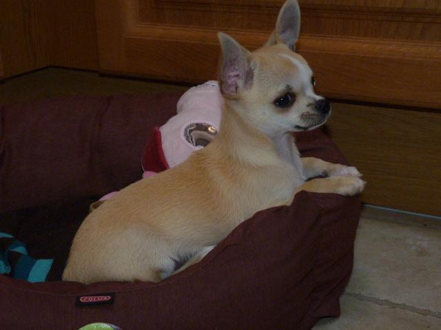 Les Chihuahua de l'affixe de la Vigne du Grand Danois