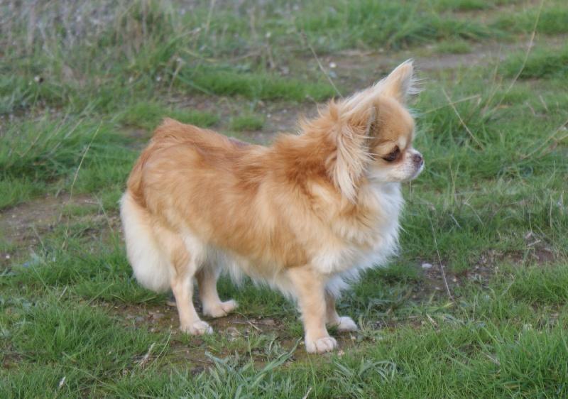 Les Chihuahua de l'affixe des Gardiens du Minervois