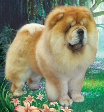 Chow Chow - CH. chinabear Golden eclipse