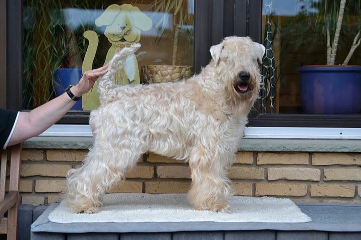 Le Standard de la race Irish Soft Coated Wheaten Terrier sur Atara.com
