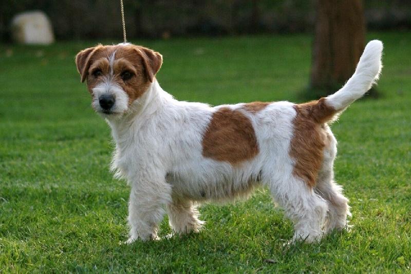 Les Jack Russell Terrier de l'affixe Du Mas Ensoleillé