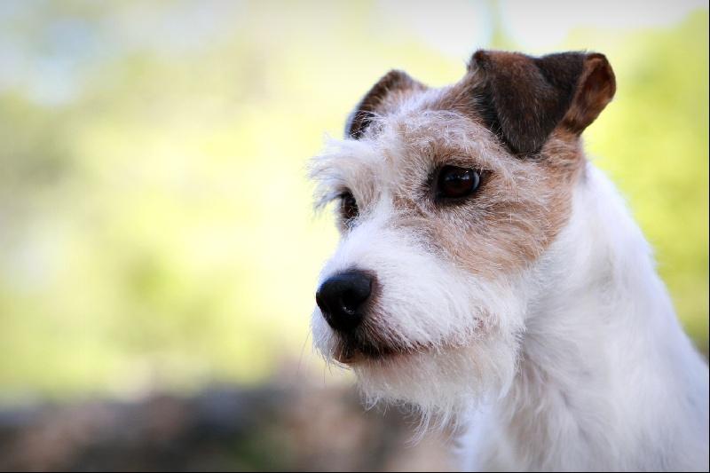 Les Parson Russell Terrier de l'affixe des very important Parson