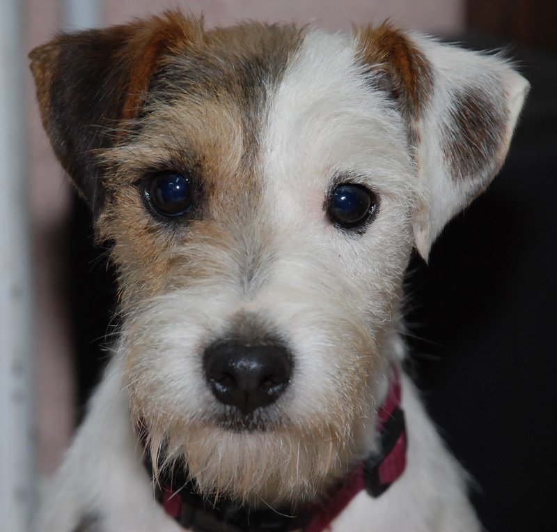 chien elevage de parson russell terrier of jack and co. Black Bedroom Furniture Sets. Home Design Ideas