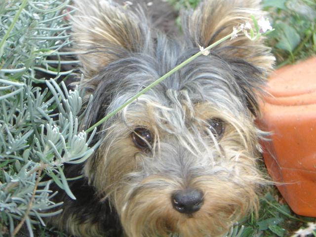 Les Yorkshire Terrier de l'affixe Des loups de la toundra