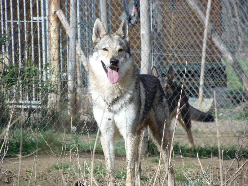 Les Chien-loup tchecoslovaque de l'affixe Des Loups Malins De Gaelice