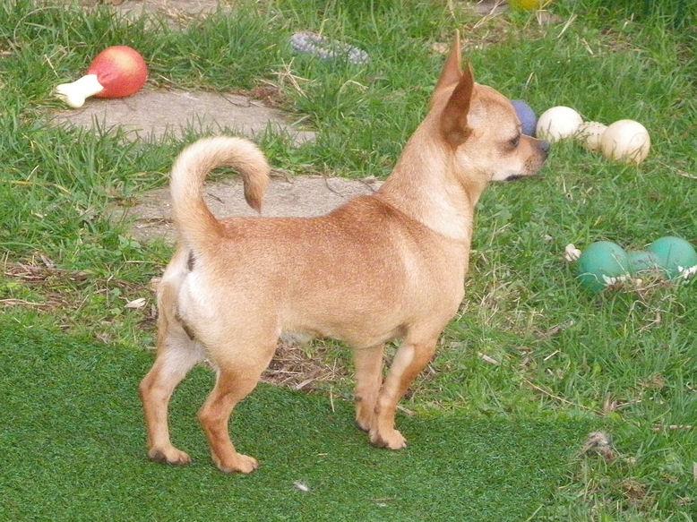 Les Chihuahua de l'affixe du Panache D'Or
