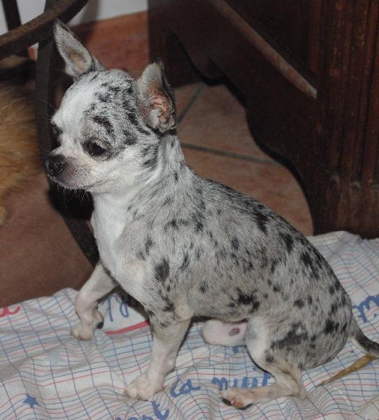 Chihuahua - pfh's Dazzling blue