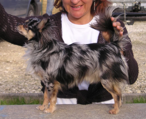 Les Chihuahua de l'affixe du clos d'athena