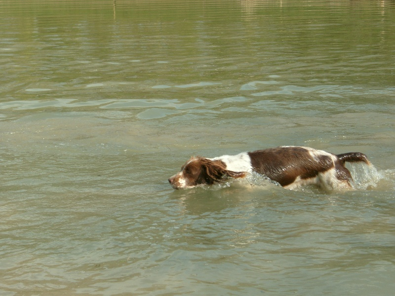 English Springer Spaniel - Sologne Hunters's Follow me