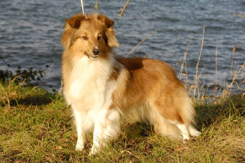 Les Shetland Sheepdog de l'affixe Aux bergers du Léman