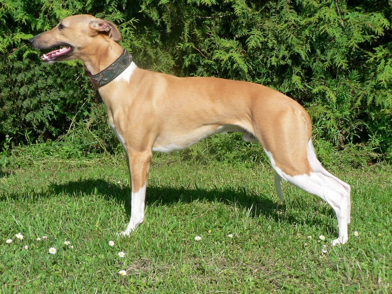 Whippet - CH. El ninio Mosquito