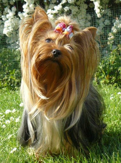 Les Yorkshire Terrier de l'affixe De l'Eden de Cristal