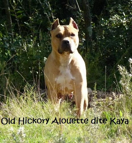 Les American Staffordshire Terrier de l'affixe Du treizieme ange