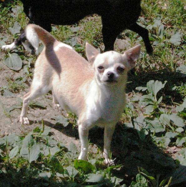 Les Chihuahua de l'affixe des Merveilles de Juliette