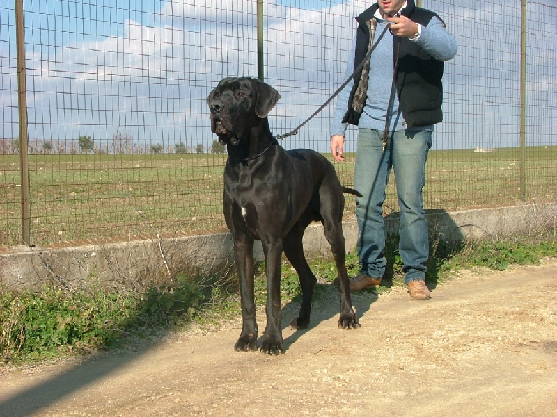 Le Standard de la race Dogue allemand sur Atara.com