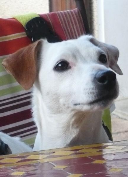 Les Jack Russell Terrier de l'affixe De la clairiere aux louves