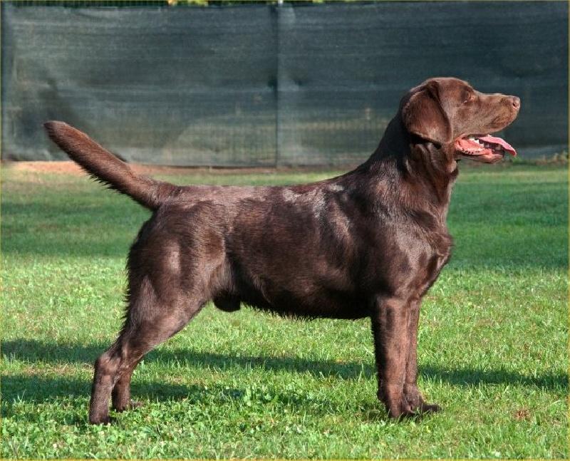 gestation period for labrador retrievers pets world