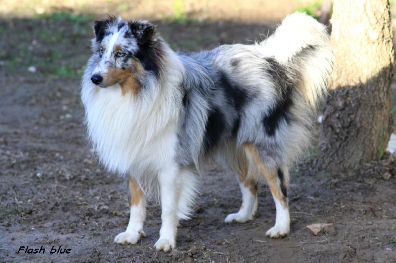 Les Shetland Sheepdog de l'affixe de la croix de chevalier
