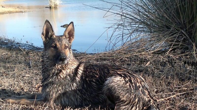 Les Berger allemand de l'affixe Des Loups Malins De Gaelice