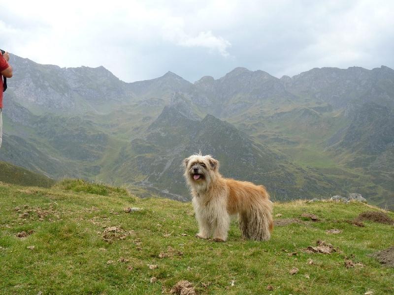 Les Berger des Pyrenees à poil long de l'affixe De L'etoile De La Bergerie