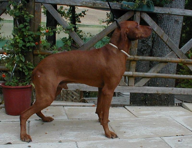 Balto sans affixe chien de race toutes races en tous departements france inscrit sur chiens de - Braque hongrois a poil court ...