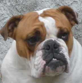 Les Bulldog Anglais de l'affixe Stocky Family