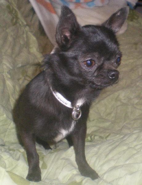 Chihuahua - Fitness Des Sylphes de l'Ataraxie