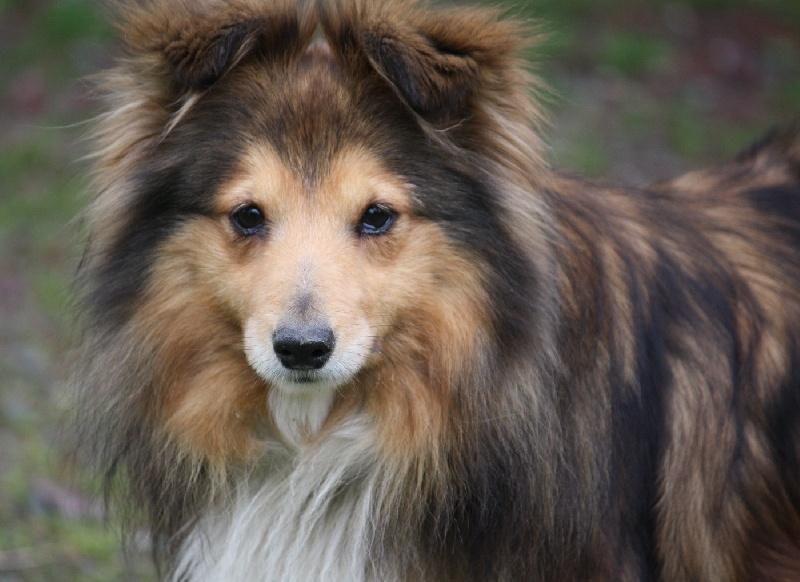 Les Shetland Sheepdog de l'affixe De La Venise De La Brie