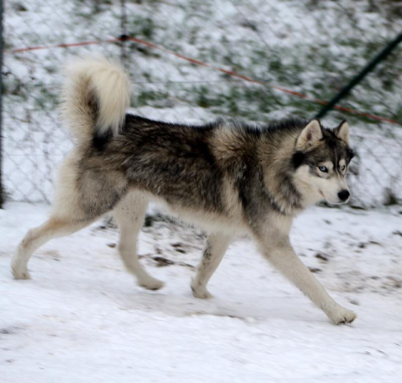 Pin Elevage De Husky Siberien Chiots Huskies on Pinterest