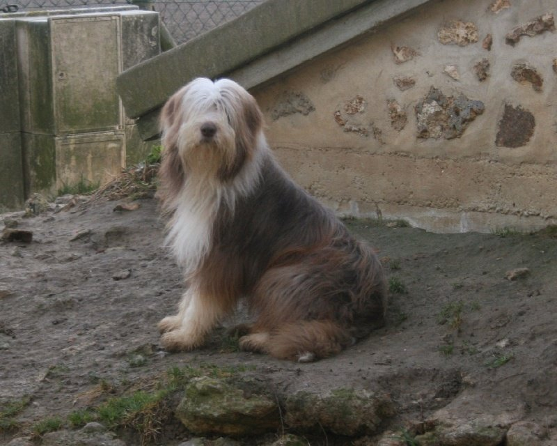 Les Bearded Collie de l'affixe du moulin de l'Auray