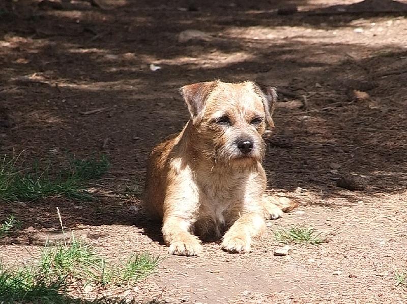 Les Border Terrier de l'affixe Vlatipa