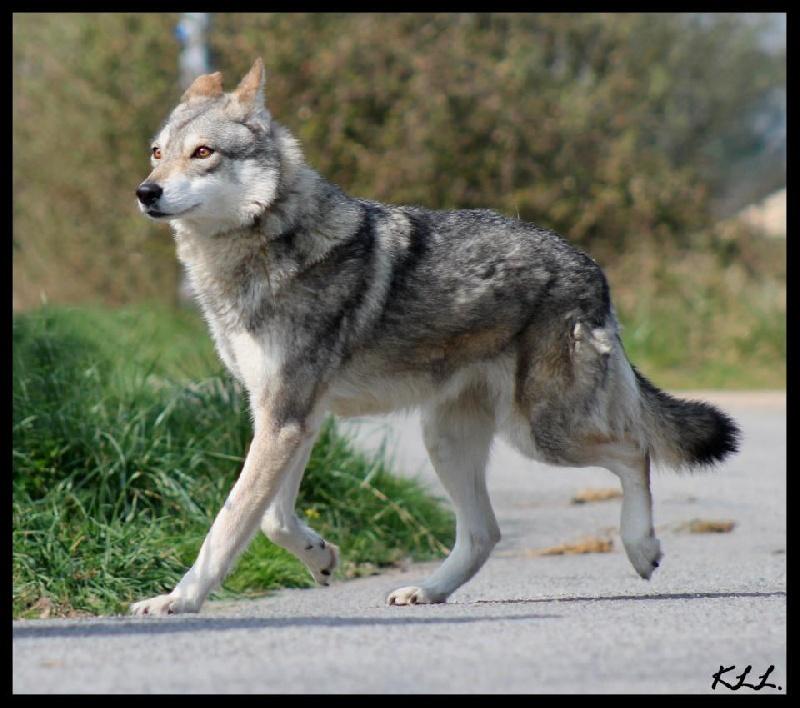 Fabuleux Chien - Canens Africae - Elevage de Chiens Loups de Saarloos et de  CR81