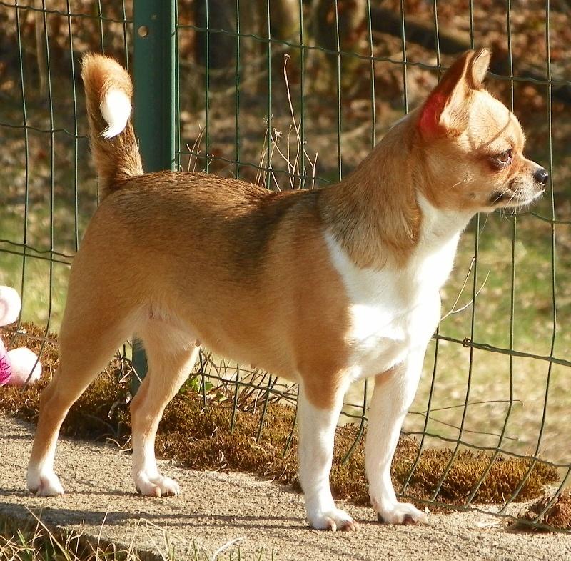 Les Chihuahua de l'affixe de L'Arbre des Batailles