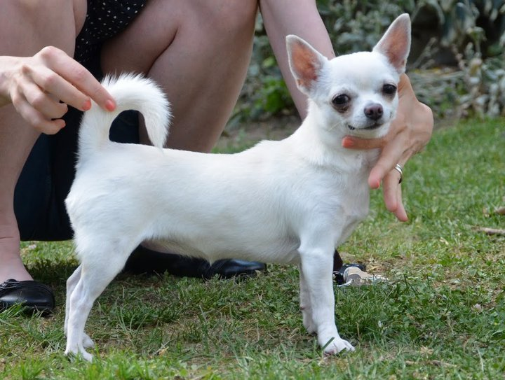 Les Chihuahua de l'affixe Via Spedona
