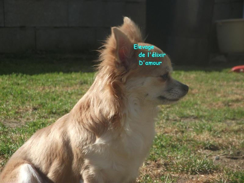 Chihuahua - Fantaisia de l'elixir d'amour