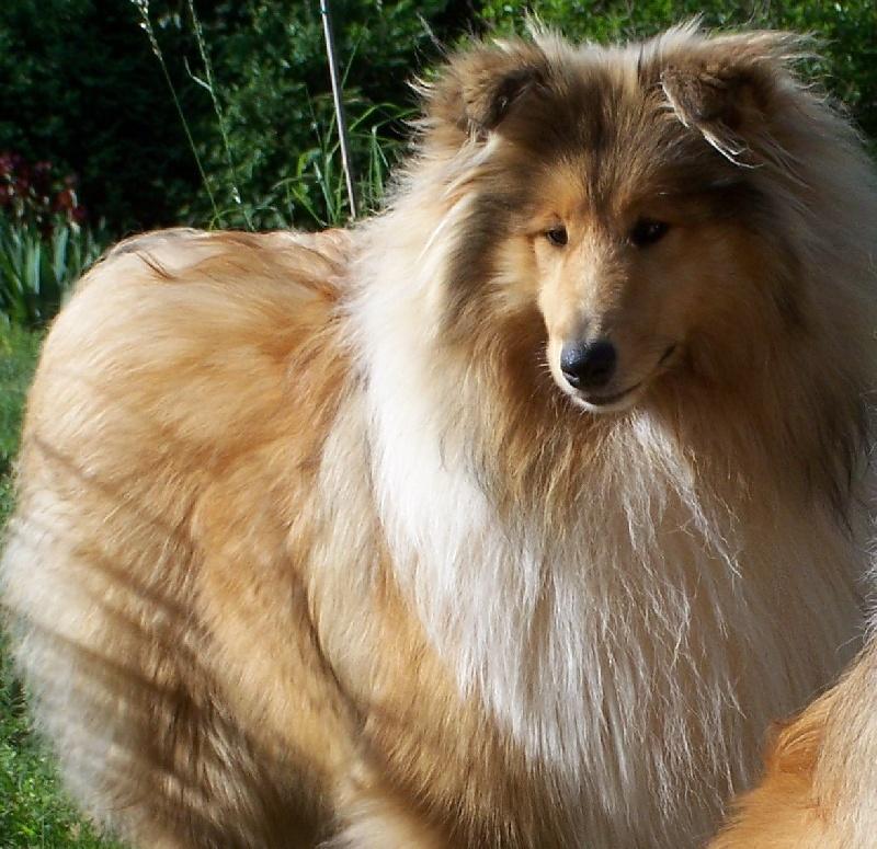 chien elevage du clos d 39 amity star eleveur de chiens colley poils longs. Black Bedroom Furniture Sets. Home Design Ideas