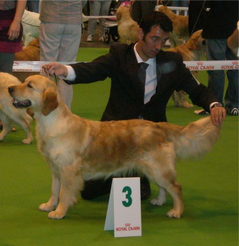 Golden Retriever - Call hey jude tascha dite jude Des haies de la conchee